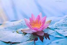 26 best waterlelies images on pinterest lotus flower good pictures of flowers can cause change in mood of the person here are pictures of flowers which will most probably make your day if you are off in any way mightylinksfo