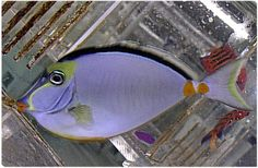 Reef Fish, Marine Fish, Coral, Aquarium Supplies & more - Saltwaterfish.com