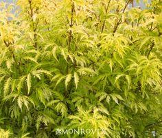 Sutherland Gold Elderberry - Monrovia - Sutherland Gold Elderberry