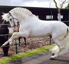 (11) الحر النبيل (@aboalfog)   Twitter Horse Mane, Andalusian Horse, Friesian Horse, Most Beautiful Horses, All The Pretty Horses, Horse Photos, Horse Pictures, Beautiful Creatures, Animals Beautiful