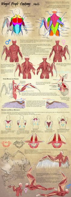 Winged People Anatomy: Muscles by Blue-Hearts Anatomy Reference, Art Reference Poses, Drawing Reference, Wing Anatomy, Anatomy Drawing, Muscle Anatomy, Bird People, Wings Drawing, Bird Wings