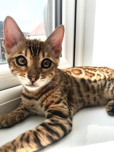 Beautiful Bengal Cat #bengal #bengalcat #moderncat #moderncatmagazine