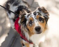 "Luna, Australian Shepherd (10 m/o), 13th & Hudson St., New York, NY • ""She thinks the weather is a bit too hot."""