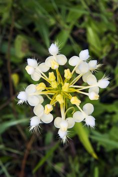 Platanthera x bicolor [in top-view] - Flickr - Photo Sharing!
