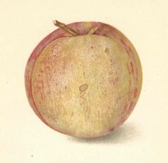 1908 Antique Peach Print Lithograph Book Plate Original Champion Peach by catladycollectibles on Etsy
