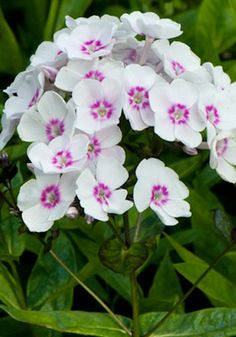 Phlox 'Europa' Phlox Flowers, Hydrangeas, Planting Flowers, Home Flowers, Orchid Care, Annual Plants, Trees And Shrubs, Flower Photos, Amazing Flowers