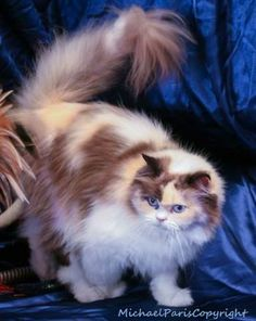 Parker, a Himalayan Ragdoll mix... this kitty needs a home http://www.purebredsplus.org/available/bio/parker.html