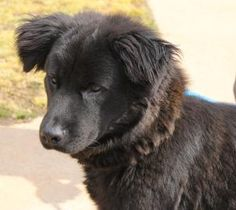 PLEASE HURRY HIGH KILL SHELTER!!  Adopt Rafa, a lovely 2 years  9 months Dog available for adoption at Petango.com.  Rafa is a Chow Chow / Retriever, Golden and is available at the Greenville County Animal Care  in GREENVILLE, SC