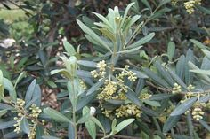 Image By Sputnikcccp at the English language Wikipedia, CC BY-SA Link Olive Plant, Olympic Flame, Fat Loss Supplements, Evergreen Trees, Olive Fruit, Olive Tree, Tree Art, Leaves, Garden