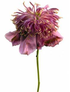 Pivoine Lactifolia Aztec (c) Rachel Levy Macro Flower, Flower Art, Botanical Flowers, Botanical Art, Dried Flowers, Purple Flowers, Flora Botanica, How To Preserve Flowers, Floral Photography