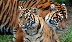 Despite 20 years of international conservation efforts, we are losing ground to save the tiger as, on the endangered species list, all sub-species of tigers are considered critically endangered species.