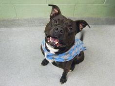 BILBO DOGGINS - 19402 - - Manhattan  TO BE DESTROYED 02/02/18  A volunteer writes: Bilbo Doggins is ready to go on an adventure. The more epic, the better! He'll tag along wherever you want to roam, and is always so happy to make new friends, both human and canine, indoors or out. Socializing, long walks and lingering sniff sessions are what this hunky hero lives for, and while he does pull enthusiastically on leash, he also responds well to correction and trundles al