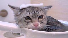 おふろが大好きな仔猫の花ちゃん Cat bath
