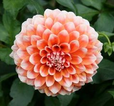 Hollyhill Orange Ice Dahlia