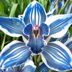Blue Cymbidim Orchid, OH MY