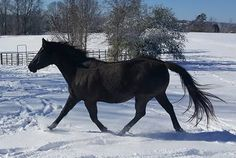 Thieves Strike Again - Criminal Attack Against Horses - Tails Cut Off