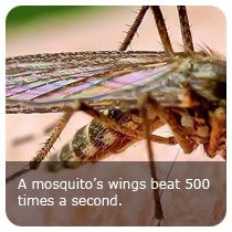 Mosquito fact: A mosquito's wings beat approximately 500-700 times per second! #trivia #insects #education
