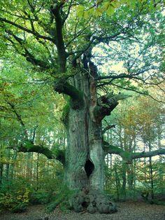 The tree stump. Tuck Everlasting, Old Oak Tree, Tree Stump, Thor, Scenery, Germany, World, Beautiful, Landscape