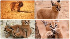 Why don't more people talk about how cute Caracals are?