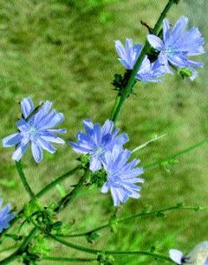 All About Chicory, an Edible Weed