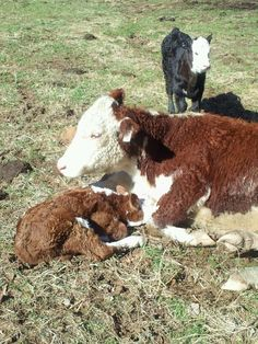 Mom n baby Hereford Cattle, Fluffy Cows, Cow Art, Cute Cows, Down On The Farm, The Ranch, Love Is Sweet, Mom And Baby, Livestock