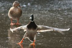 A duck makes a tricky landing on the frozen surface of a pond by Pelham Terrace in Lewes, East Sussex