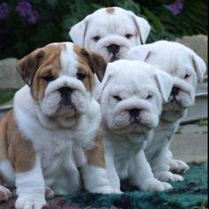 Bulldogs.  :-)