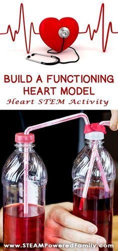 Human body heart model