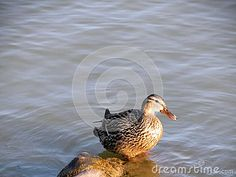 A female mallard duck stands on a rock in the lake