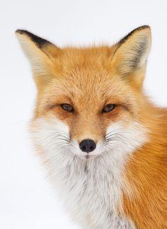 Red Fox Portrait  © Greg Schneider - gschneiderphoto.com