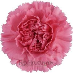Watermelon Pink Carnation Flower - 150 stems for $120, 300 stems for $190  Lots more colors, varieties