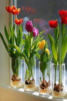 Gardening : Indoor Tulips . . . Step 1 - Fill a glass container about 1/3 of the way with glass marbles or decorative rocks. Clear glass will enable you to watch the roots develop . . . Step 2 - Set the tulip bulb on top of the marbles or stones; pointed end UP. Add a few more marbles or rocks so that the tulip bulb is surrounded but not covered. .Step 3 - Pour fresh water into the container. The water shouldn't touch the bulb, but it should be very close, so that the roots will grow in.