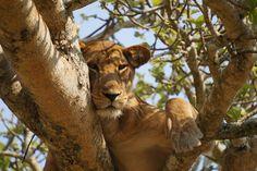 #fluffykitten #lion #tree #africa #bigcat #klashkittens