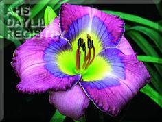 Daylily Blue Inspiration