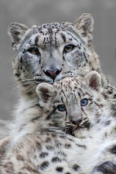 Mama and baby snow leopard