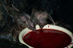 Vampire bats feed on the blood of warm-blooded animals such as birds, horses and cattle. They do not suck blood. The bats obtain blood by making a small cut. Vampires, Out Of Your Mind, Maila, Vampire Bat, Macabre, Sick, Horror, Blood, Tumblr
