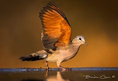 Emerald Spotted Dove by Brendon Cremer on 500px