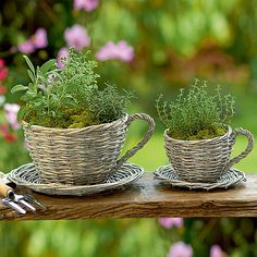 Wicker teacup planted w/ herbs