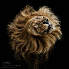 The Sun King II by pjkrebs #animals #animal #pet #pets #animales #animallovers #photooftheday #amazing #picoftheday