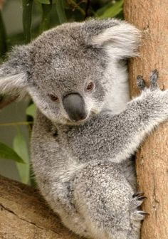 This is a really cute baby koala!!!!