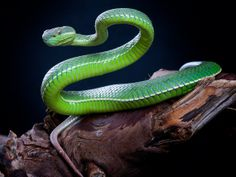 60bbcc8ac8c White-lipped Tree Viper - White lipped tree vipers are an amazing display  snake.