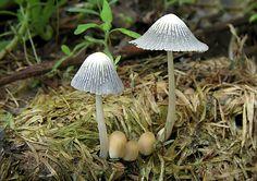 Nahuby.sk - Fotografia - hnojník dvojvýtrusný Coprinellus bisporus (J.E. Lange) Vilgalys, Hopple & Jacq. Johnson