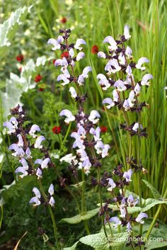 Salvia algeriensis in The Royal Bank of Canada Garden, at The RHS Chelsea Flower Show 2016.