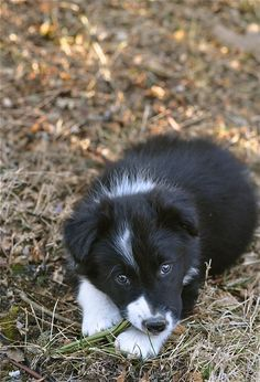 Border collies have to be the all around best looking most awesome dogs ever... from puppies to adults.