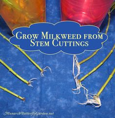 Step by Step Tutorial for Growing Tropical Milkweed from Stem Cuttings. Growing milkweed has never been so easy!A Step by Step Tutorial for Growing Tropical Milkweed from Stem Cuttings. Growing milkweed has never been so easy! Butterfly Cage, Butterfly Garden Plants, Monarch Butterfly, Milkweed Plant, Plant Cuttings, Starting Seeds Indoors, Hummingbird Garden, Seed Starting, Native Plants