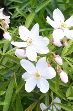 Buy Choisya x dewitteana Aztec Pearl (Mexican Orange Blossom) online from Jacksons Nurseries Dry Garden, Garden Beds, Garden Plants, Unique Flowers, White Flowers, Plant Design, Garden Design, Foliage Plants, White Gardens