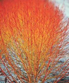 """Midwinter Fire"" Dogwood - full sun to partial shade"