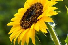 Save sunflower seeds to plant. Allow them to dry at room temperature overnight. Do this immediately after rinsing to prevent the seeds from molding. store in envelope in cool place.