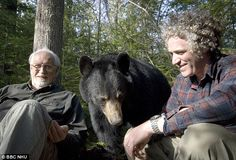 Close relationship: Dr Lynn Rogers has been working with bears for 25 years Sloth Bear, Panda Bear, Polar Bear, Cute Creatures, Beautiful Creatures, American Black Bear, Forest People, Wildlife Biologist, Moon Bear