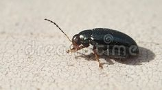 Video about A jumping bug on a table cleaning its antennas and legs. Video of cleaning, nature, legs - 102410114 A Table, Bugs, Cleaning, Insects, Beetles, Home Cleaning